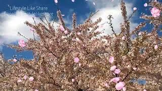 See the Cherry Blossom Festival in Amstelveen, the Netherlands. One of the most beautiful in Europe